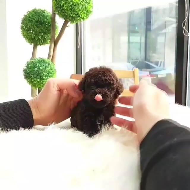 Micro Chocolate Poodle Video Izle Indir