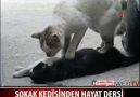 Kediden Ölen Eşine Hayata döndürme Kalp Masajı...!