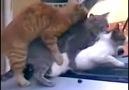 Kedilerin araba fantezisi :):):)