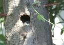 Ağaç Kovuğunda Kuşların Yaşamı izle [HQ]