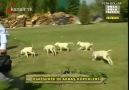 Akbaş Çoban Köpeği 2
