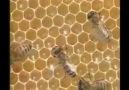 Arıların Sırrı