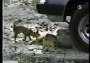 Çılgın Köpekler