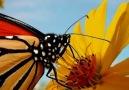 Doğa Ve Yaban Hayatı   Kelebeklerin güzellikleri