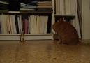 İnternetin yeni fenomeni bu kedi [HQ]