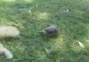 Kaplumbağa ve Kedi