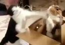 kedilerin muhteşem düellosu