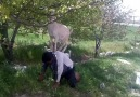 maksat keçinin karnı doysun !!!!!!!!!! [HQ]