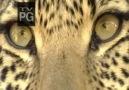 N.G  Eye of the Leopard_Leoparın Gözleri__(1/8)