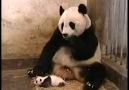 Pandanın Yavrusu Hapşırırsa xD
