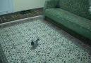 TakLacı Güvercin-