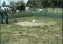Taklacı Güvercin ALMANYA (Samsunlu Kuşcular)