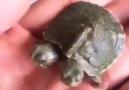 Acemi Kamera Video Sitesi - İki kafalı kaplumbağa Facebook