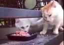 Açgözlülükte level atlamış kedi