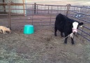 Adorable Puppy Tries To Steer Cow