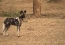 Afrika Köpeklerinin Zincir Avlanma Taktiği