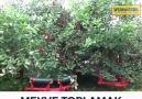 Ağaca Çıkmadan Meyve Toplamak