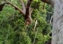 Ağaçta Arı Oğulu Kaynıyor -