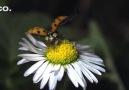 Ağır Çekimde Uğur Böceklerinin Uçuşu ve Kanatları