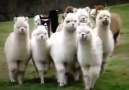 Ain't nobody messing with these Alpacas