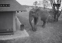 Akıllı fil