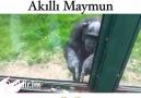 Akıllı Maymun