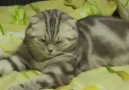 Aksam çok fare kovalayan kedi