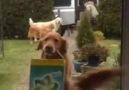 alışveriş torbalarını eve taşıyan köpekler.. :)