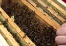 Altın arı Buckfast