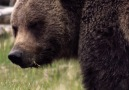 A male grizzly bear can consume 40000 moths on a summer day.