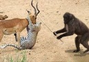Animals Save Animals! The Monkey saved the Deer from the Leopard