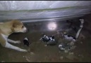 Anne köpeğin yavrularını kobra yılanından koruma mücadelesi
