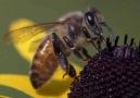 Arı Kovanına Saldıran Ayı ve Arıların Mücadelesi