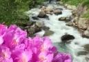 Artvin Yayla ÇiçeğivideoSelda solmaz