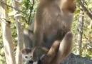 ASMAN bilgi sayfası - Maymun&kediye şefkati. Facebook