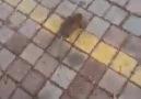 atarlı fare