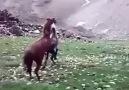Atların Kavgası...