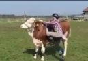 At mı ? Sığır mı ?