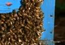 Avrupa Bal Arıları Ve Japon Bal Arıları Savunma Sistemleri...