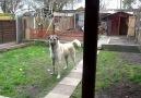 5 Ay Sonra Sahibini Gören Türk Çoban Köpeği