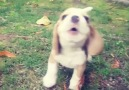 Baby beagles howl is terrifying!