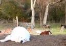 Baby goats wont let doggo sleep