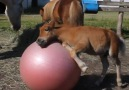 Baby Horse Loves Playing With His Ball