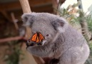Baby koala attacked by butterfly