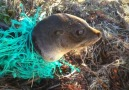 Baby Seal Tangled In Net Gets Returned To The Ocean