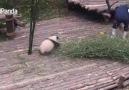 Bakıcısından ilgi bekleyen panda