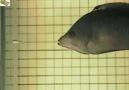 balığın çene yapısı