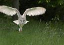 BBC Earth - Majestic barn owl Facebook