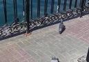 Beautiful Pigeon I Love Dubai Dosti