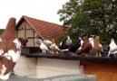Beautiful Pigeons
